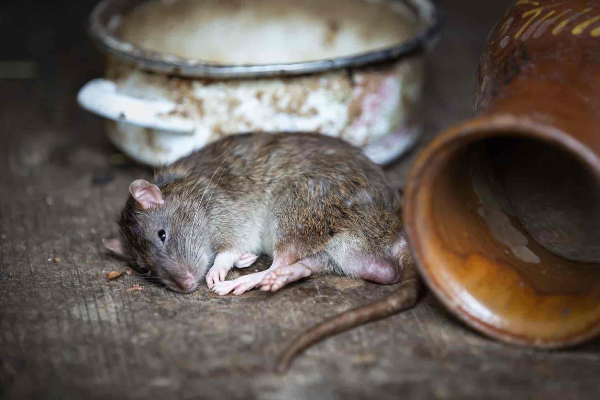 Enfermedades causadas por los roedores