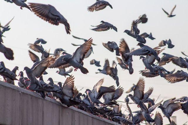Impacto de las palomas